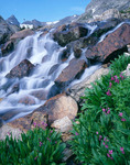 Parry primrose and waterfall above Lake Isabelle, Indian Peaks Wilderness, Colorado