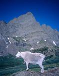 Mountain goat below Crestone Needle, Sangre de Cristo Wilderness, Colorado