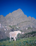Mountain goat below Crestone Needle, Sangre de Cristo Wilderness, Colorado