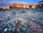 Claret cup cactus and dwarf evening primrose, Salt Creek, Needles District, Canyonlands National Park, Utah