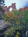Fremont's mahonia and Angel Arch, Salt Creek, Needles District, Canyonlands National Park, Utah