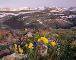 Alpine sunflowers and the Never Summer Range from Trail Ridge Road, Rocky Mountain National Park, Colorado