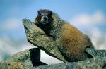 Yellowbelly marmot on the Continental Divide near Mt. Ida, Rocky Mountain National Park, Colorado
