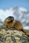 Yellowbelly marmot on the Continental Divide above Milner Pass, Rocky Mountain National Park, Colorado