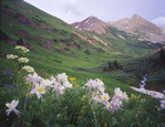 Columbine in Rustler Gulch, Maroon Bells-Snowmass Wilderness, Colorado