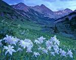 Columbine in Rustler Gulch, Maroon Bells-Snowmass Wilderness, Colorado