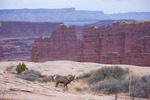 Bighorn ram near Monument Basin, Island in the Sky district, Canyonlands National Park, Utah