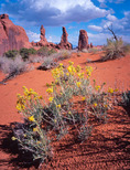 Yellow cryptantha and the Marching Men, Klondike Bluffs area, Arches National Park, Utah