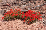 Paintbrush, Maze District, Canyonlands National Park, Utah
