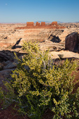 Fremont's mahonia, the Chocolate Drops and the Maze, Maze District, Canyonlands National Park, Utah