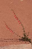 Skyrocket, also called scarlet gilia, Maze District, Canyonlands National Park, Utah