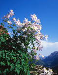 Columbine in Lost Remuda Basin, Maroon Bells-Snowmass Wilderness, Colorado