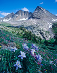 The Trinity Peaks and columbine, Weminuche Wilderness, Colorado