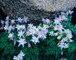 Columbine in Ruby Basin, Weminuche Wilderness, Colorado