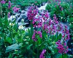 Parry primrose along Cunningham Creek, Weminuche Wilderness, Colorado