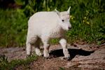 Mountain goat kid, Chicago Basin, Weminuche Wilderness, Colorado