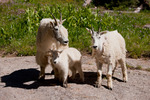 Mountain goat family, Chicago Basin, Weminuche Wilderness, Colorado