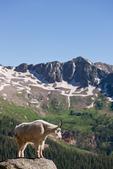 Mountain goat in Chicago Basin, Weminuche Wilderness, Colorado
