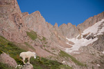 Mountain goat in Chicago Basin, Weminuche Wilderness, Colorado