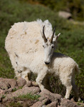 Mountain goat and her kid, Chicago Basin, Weminuche Wilderness, Colorado