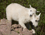 Mountain goat kids,  Chicago Basin, Weminuche Wilderness, Colorado