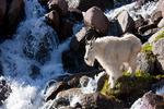 Mountain goat and waterfall, Chicago Basin, Weminuche Wilderness, Colorado