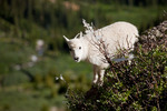 Mountain goat kid, Chicago Basin, Weminuche Wilderness, Colorado