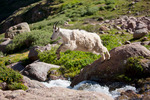 Mountain goat leaping waterfall, Chicago Basin, Weminuche Wilderness, Colorado