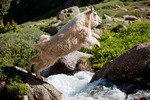 Mountain goat leaping over stream, Chicago Basin, Weminuche Wilderness, Colorado
