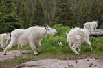 Male mountain goat chases away female who was attempting to lick salts from place where backpacker urinated, Chicago Basin, Weminuche Wilderness, Colorado.  The male wanted that spot for himself.