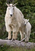 Mountain goat and her kid, Chicago Basin, Weminuche Wilderness, Colorado
