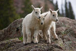 Mountain goat kids, Chicago Basin, Weminuche Wilderness, Colorado