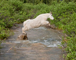 Mountain goat leaping stream, Chicago Basin, Weminuche Wilderness, Colorado