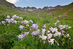 Columbine in American Basin, in the Handies Peak Wilderness Study Area, Uncompahgre National Forest, Colorado