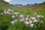 Columbine in American Basin, in the Handies Peak Wilderness Study Area, Uncompahgre National Forest, Colorado
