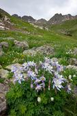 Columbine in American Basin, Handies Peak Wilderness Study Area, Colorado