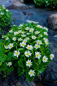 Marsh marigolds, Missouri Lakes region, Holy Cross Wilderness, Colorado