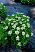 Marsh marigolds, Missouri Lakes region, Holy Cross Wilderness, Colorado