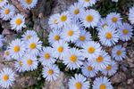 Alpine wildflowers growing above Lake Patricia, Holy Cross Wilderness, Colorado