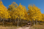 Aspen in fall colors along the Medano Pass Road, Sangre de Cristo Range, Colorado
