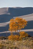 Aspen in fall color and sand dunes at Great Sand Dunes National Park, Colorado