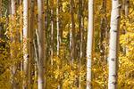 Aspen along the Wild Cherry Creek trail, Sangre de Cristo Wilderness, Colorado