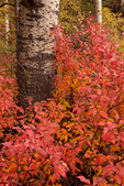 Red osier dogwood along the Wild Cherry Creek trail, Sangre de Cristo Wilderness, Colorado