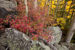 Red osier dogwood in late September near Bear Lake, Rocky Mountain National Park, Colorado