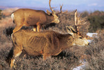 Mule deer on Island in the Sky in January, Canyonlands National Park, Utah