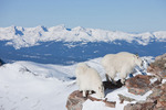 Mountain goats on the summit of 14,265-foot Quandary Peak in January, Tenmile Range, near Breckenridge, Colorado