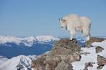 Mountain goat on the summit of 14,265-foot Quandary Peak in January, Tenmile Range, near Breckenridge, Colorado