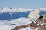 Mountain goat on the summit of 14,265-foot Quandary Peak in January, Tenmile Range, near Breckenridge, Colorado
