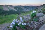 Columbine in Wetterhorn Basin at sunrise, Uncompahgre Wilderness, Colorado