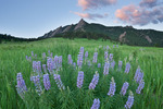 Lupine and the Flatirons at sunrise, Boulder Mountain Parks, near Boulder, Colorado